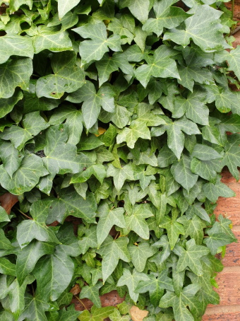 Ivy growing in my garden